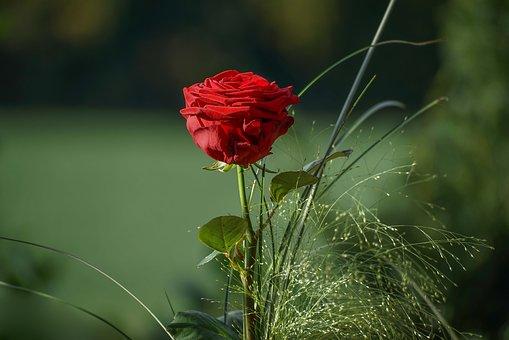 rose-3149370__340